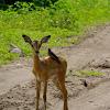 Impala baby with oxpecker