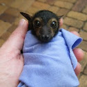 Spectacled Flying-fox