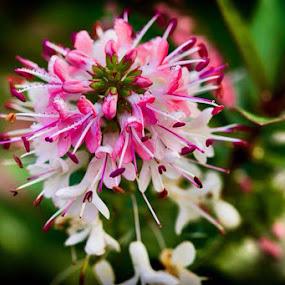 Beautiful flower by Vinko Radonic - Flowers Flowers in the Wild ( white, pink, flower )