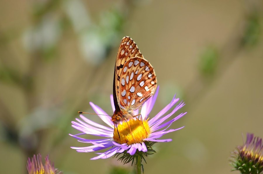 William's Lake Butterfly by Lorin Hohl - Animals Insects & Spiders ( center, centered, butterfly, spotted, purple, brown, sunlight, close up, antenna, flower )