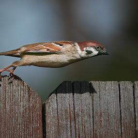 Takeoff by Gary Enloe - Animals Birds ( bird, fly, feathers )