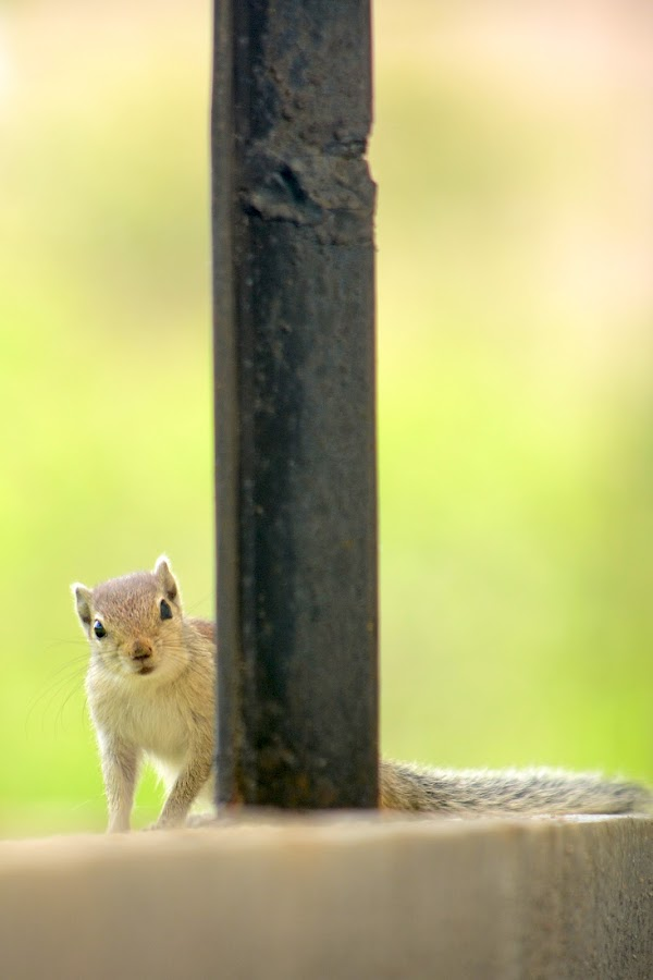 The Squirrel by Manas JC - Animals Other (  )