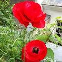 Klatschmohn (Poppy)