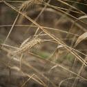 canadian wild rye