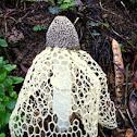 Maiden's Veil Mushroom