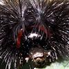 Virginia Ctenuchid Moth Caterpillar