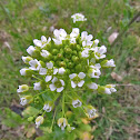 Field peppergrass