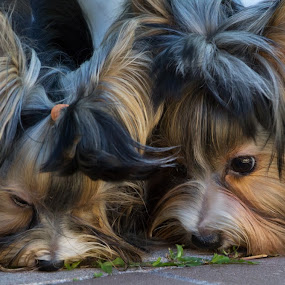 Sniff , Sniff  !  by Liza Chevres - Animals - Dogs Playing ( playing, dogs, toy breed, sniffing, biewer,  )