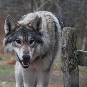 Coming at Me by Sue Green - Animals Other ( animals, wildlife, wolves,  )