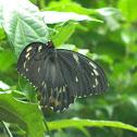 Cairns birdwing butterfly - female