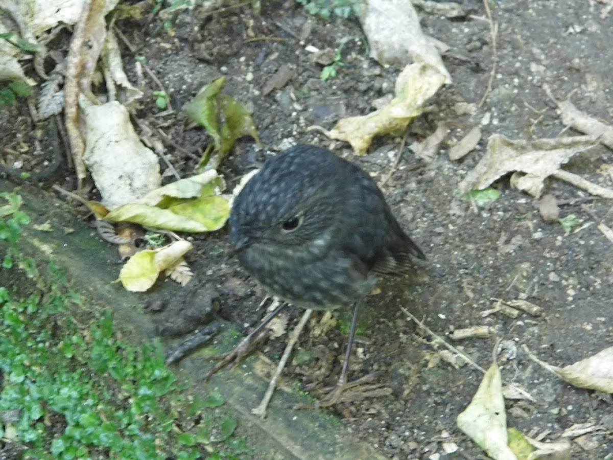 New Zealand north island robin/toutouwai