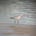 Bar-tailed godwit / Aguja colipinta