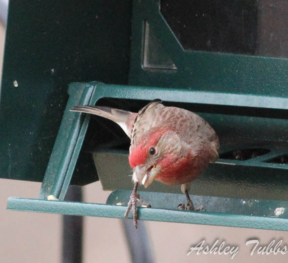 House Finch - Project Noah House Finch - 웹