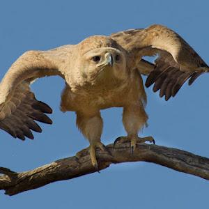 Tawny Eagle Bird _20140101__37E8732.jpg