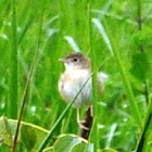 Cebuano Pirot, grassland bird