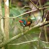Green-backed Kingfisher