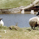 Scottish Black-Faced Sheep