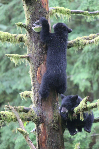 bear-cubs - Here's a shot of the bear cub's sibling making its way up to a higher branch.