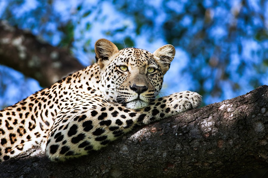 Leopard in a tree by Melissa-lee Annetts - Animals Lions, Tigers & Big Cats ( big cat, resting, wildlife, africa, leopard )