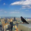 Rock Dove / Rock Pigeon