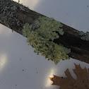 """Shield Lichen"""