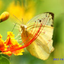 Yellow Grass Butterfly