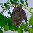 Vesper (Bat)