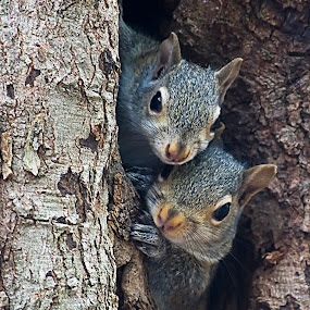 Squirrel Family by George Holt - Animals Other Mammals ( looking, two, squirrels, tree, watching, family, cute, squirrel,  )