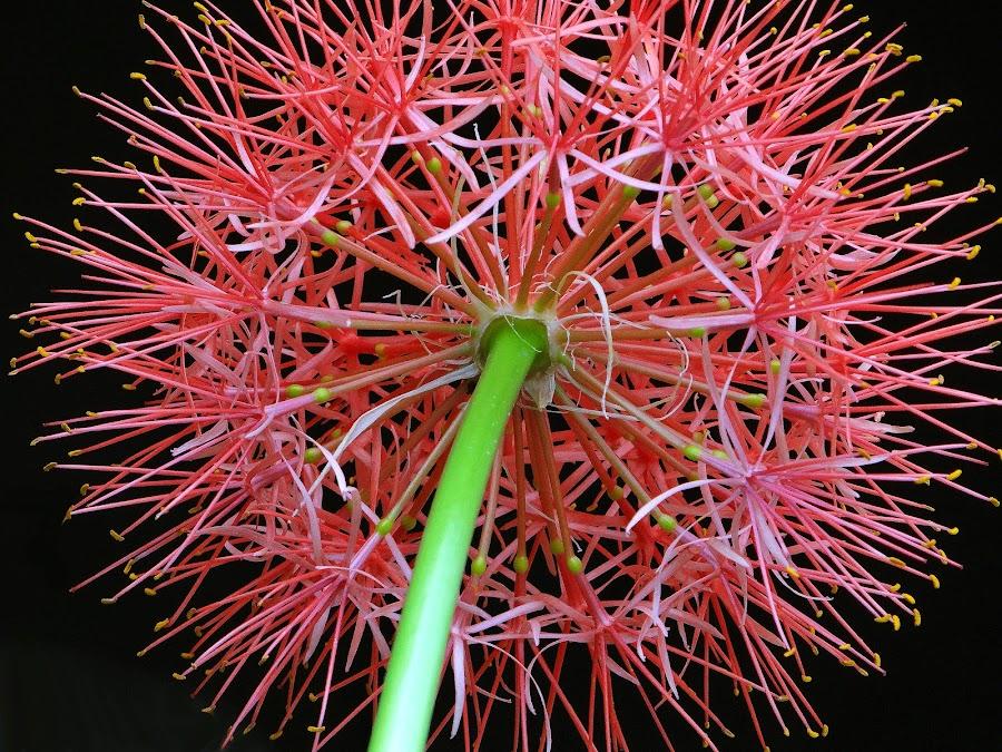 Football lily reverse by Asif Bora - Flowers Single Flower (  )