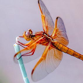 Phoenix Botanical Dragonfly by Russ Crane - Animals Insects & Spiders ( botanical, insect, dragonfly, garden, phoenix )