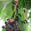 Rattle Ants (nest construction)