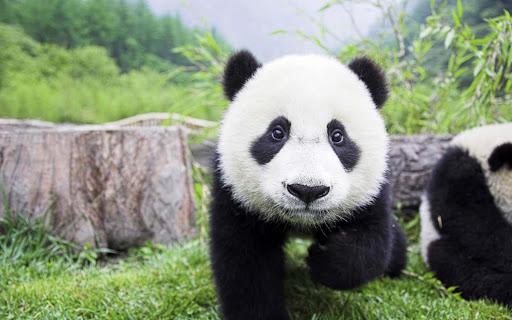 【免費工具App】Cute Panda Wallpaper-APP點子