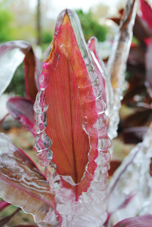 Frozen Leave by Sergio Yorick - Nature Up Close Leaves & Grasses (  )