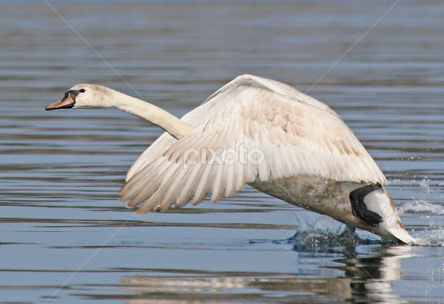 Awesome take off by Mia Ikonen - Animals Birds ( mute swan, awesome, finland, take-off, young,  )