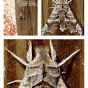 Wolf Moth