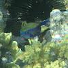 Arabian Boxfish