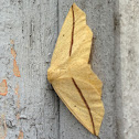 Yellow Slant-Line Moth