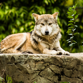 Mexican Red Wolf by Rick Touhey - Animals Other Mammals ( alpha male, wolf, mexican red wolf,  )