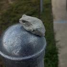 Cope's grey tree frog