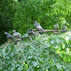 Palomas. Pigeons