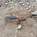 Windscorpion/Sun Spider/Camel Spider