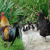 Domestic chickens