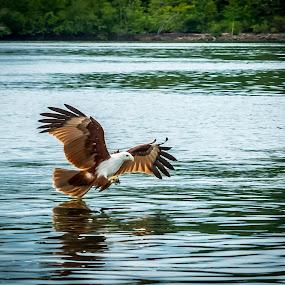 Eagle  by Joydeep Sen Chaudhuri - Animals Birds ( bird, flight, eagle, nature, wings )