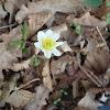 Eight petals Wood anemone / Šumarice 8 latica