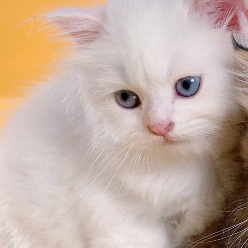波斯猫拼图 休閒 App LOGO-硬是要APP