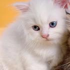 波斯猫拼图 icon