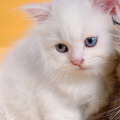 Persian Cat Puzzle