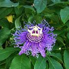 Purple passionflower