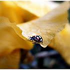 Ladybird (Vaquita de San Antonio).