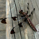 Common Whitetail dragonfly (female)